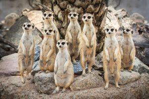 Бесплатные фото сурикаты,семейство,животные,Калахари