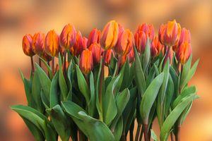 Фото бесплатно красные, тюльпаны, листья