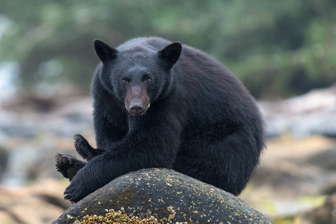 Photos for free brown bear, Wild Bear, Black Bear - to the desktop