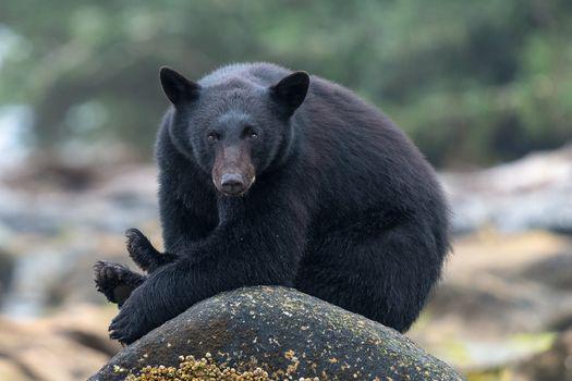 Фото бесплатно бурый медведь, Wild Bear, Black Bear