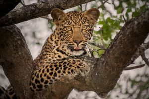 Photo free Leopard in tree, leopard, predator