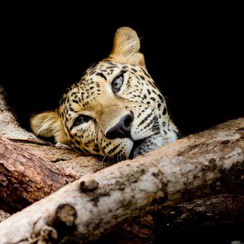 Красивые обои портрет леопарда, леопард