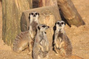 Бесплатные фото Meerkat,сурикат,Crowfield,England,United Kingdom