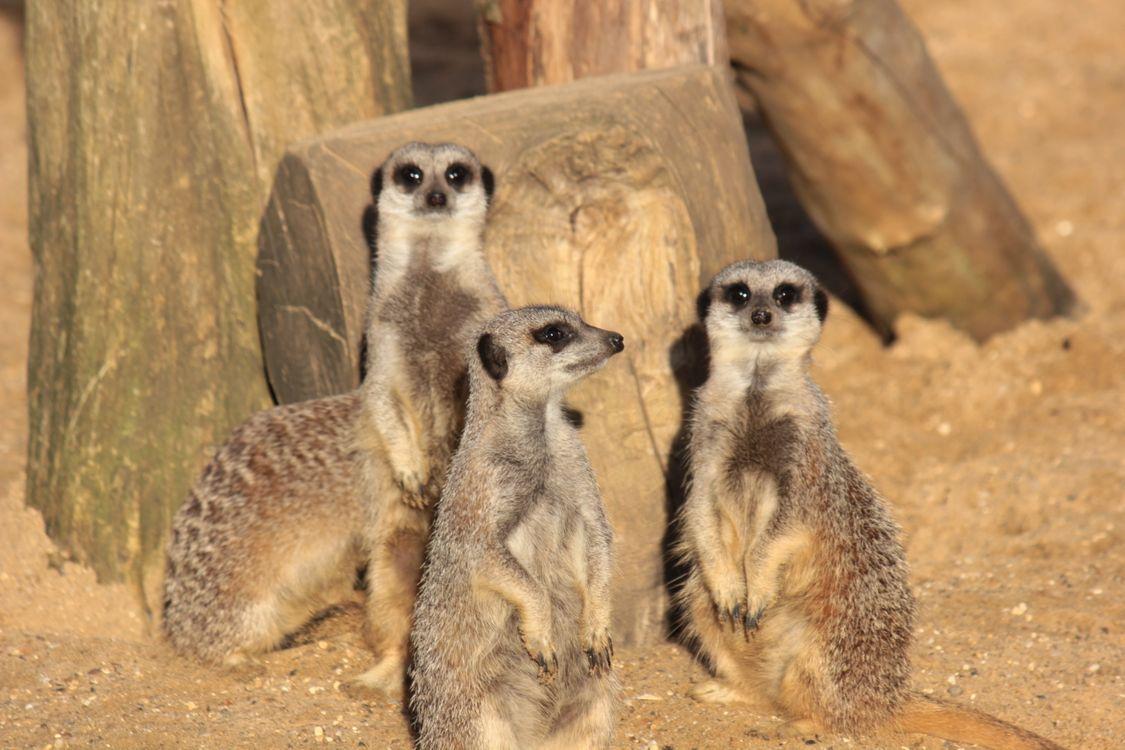 Фото бесплатно Meerkat, сурикат, Crowfield, England, United Kingdom, животные