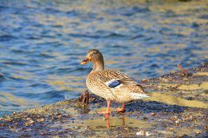 Photo free sea duck, bird, duck