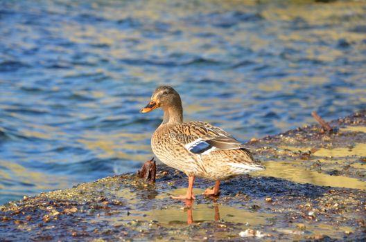 Фото бесплатно морская утка, птица, утка