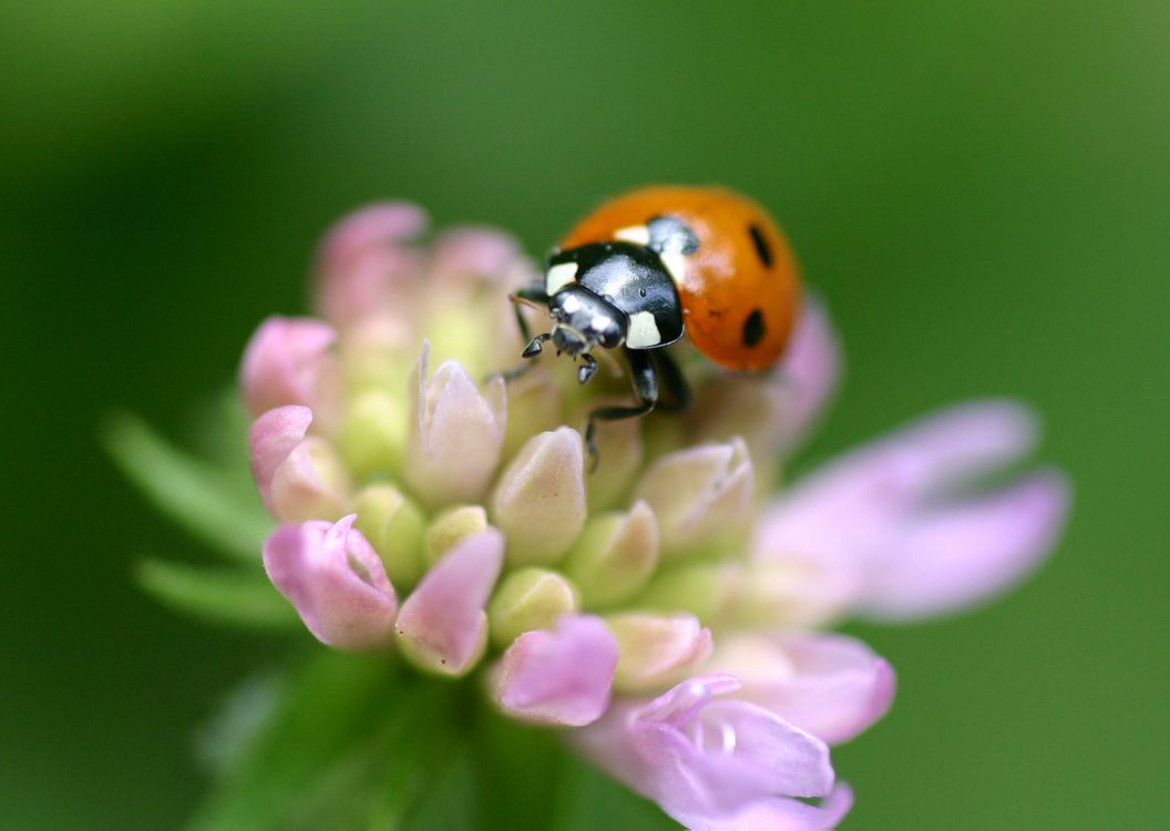 The screensaver on the phone ladybug, insect