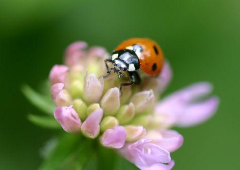 Бесплатные фото цветок,божья коровка,насекомое,макро