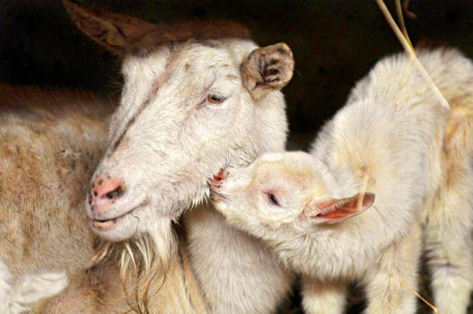 Фото бесплатно козы, ягненка, любовь