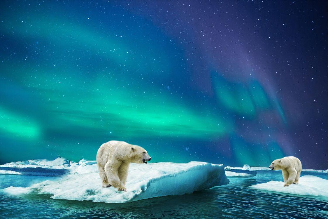 Фото бесплатно Белый медведь, полярный, северный медведь, море, льдина, медведи, фотошоп, северное сияние, фантазия, art, животные