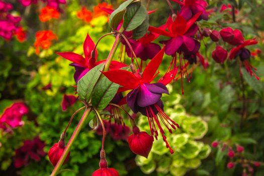 Бесплатные фото Фуксия,Fuchsia,цветы,цветок,цветочный,цветение,макрос,макро,цветочная композиция,флора