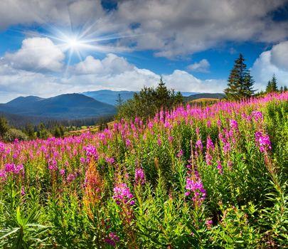 Fireweed blooming · free photo