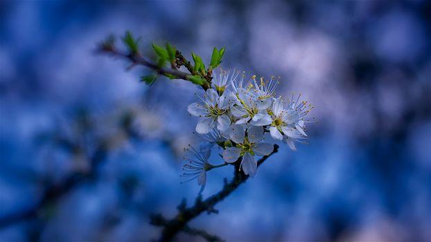 Фото бесплатно sakura, Cherry Blossoms, ветка, цветы, флора, весна, цветение, цветущая ветка, макро