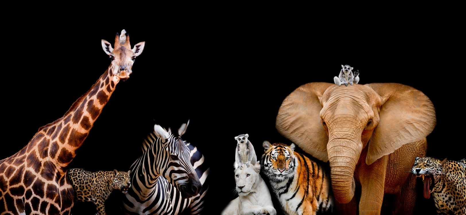 Free photo A group of animals together on a black background with text area, Animals range from an Elephant, Zebra, White Lion, Jaguar, Monkey, Giraffe and Tiger - to desktop