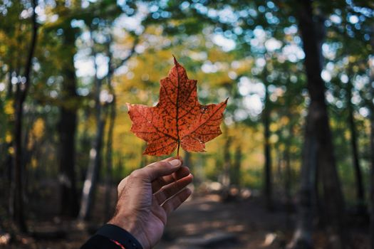 Фото бесплатно клен, листик, увядший, зеленый лес, трава, растение, дорога, тропа, лес, осень, природа, рука