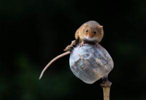 Фото бесплатно мышь-малютка, Harvest Mouse, макро