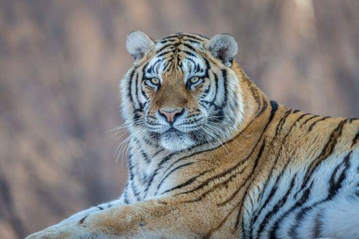 Заставки тигр, большая кошка, хищник