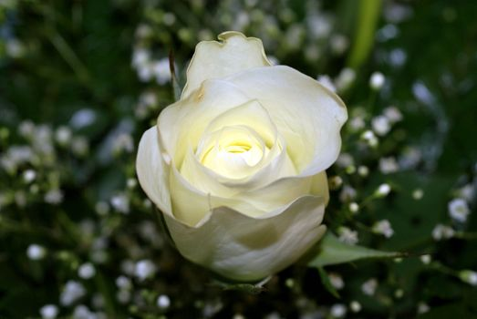 Фото бесплатно rose, white, love
