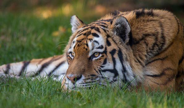 Заставки Амурский тигр, хищник, животное