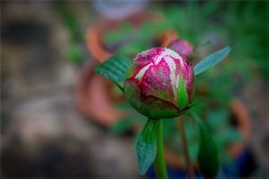 Photo free peony, flowers, spring