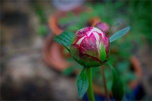 Фото бесплатно пион, цветы, весна