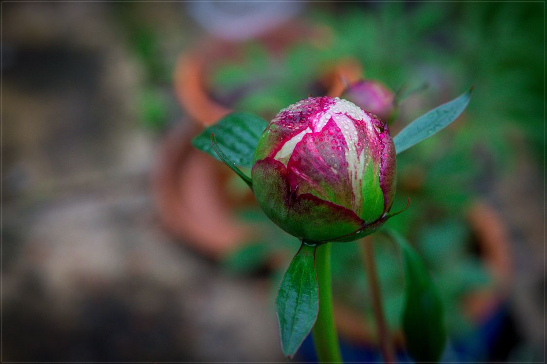 Photos for free peony, flowers, spring - to the desktop