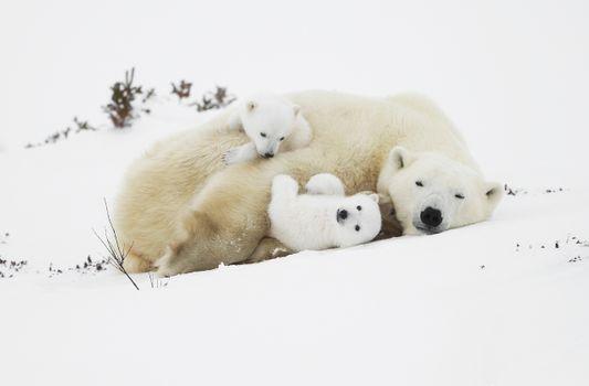 Заставки белые медведи, детеныш, милый