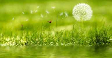 Бесплатные фото трава,вода,одуванчик,божья коровка,макро,природа