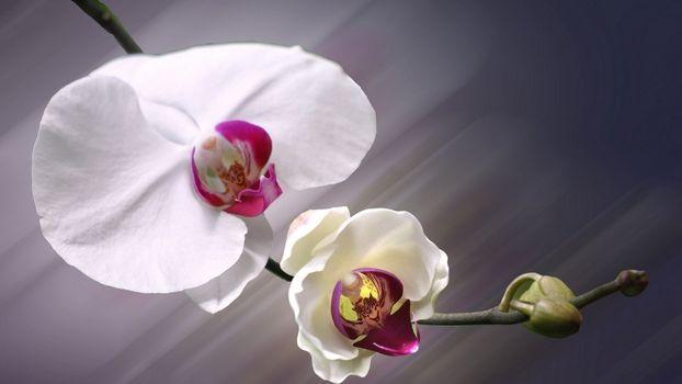 Фото бесплатно ветка, цветы, орхидеи