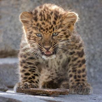 Baby leopard - free photo