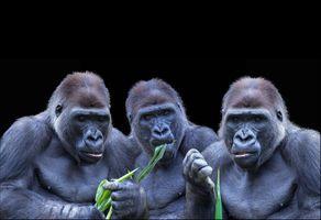 Фото бесплатно Gorillas, Гориллы, приматы, обезьяны, чёрный фон