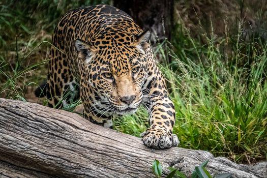 Фото бесплатно Jaguar Panthera onca, ягуар, хищник