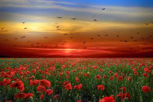 Фото бесплатно поле, маки, закат