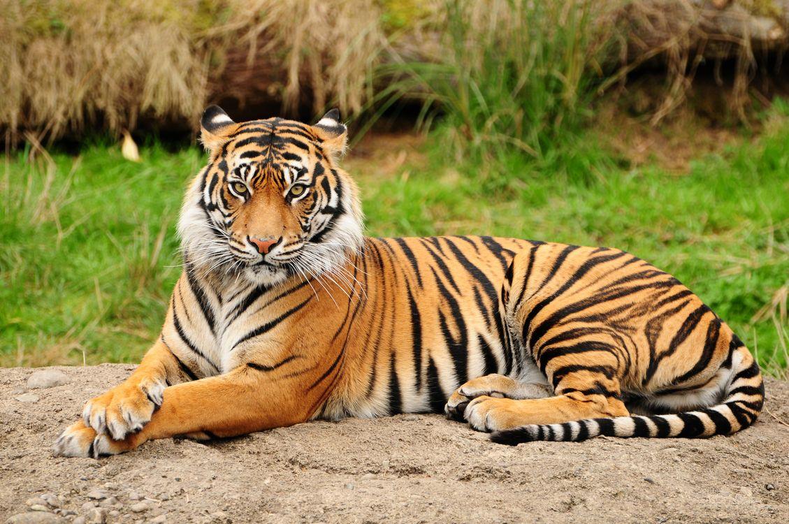 Фото бесплатно tiger, тигр, взгляд, кошки