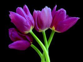 Тюльпаны для телефона