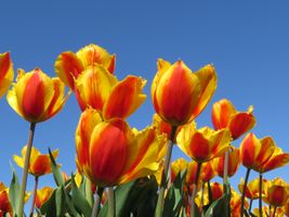 Yellow tulips and the sky