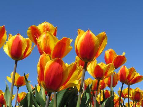 Желтые тюльпаны и небо · бесплатное фото