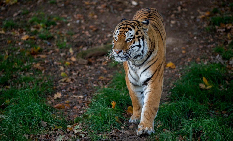 Красивые обои хищник, амурский тигр на телефон