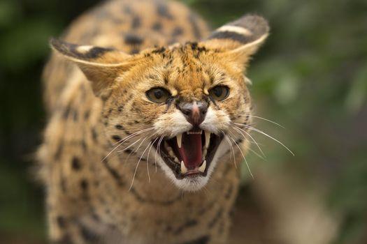 Photo free cat, muzzle, mouth