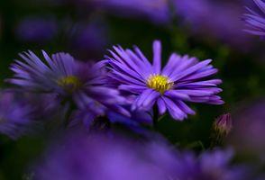 Бесплатные фото Symphyotrichum,астровые,цветы,макро,флора