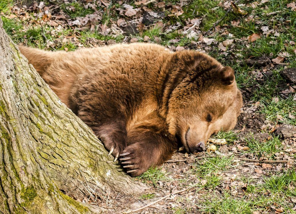 Бурый медведь · бесплатная заставка