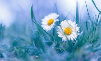 Бесплатные фото цветы,трава,ромашки,макро