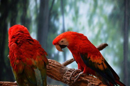 Фото бесплатно ара, попугаи, ветки