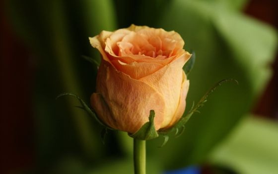 Saver rose, yellow on the monitor