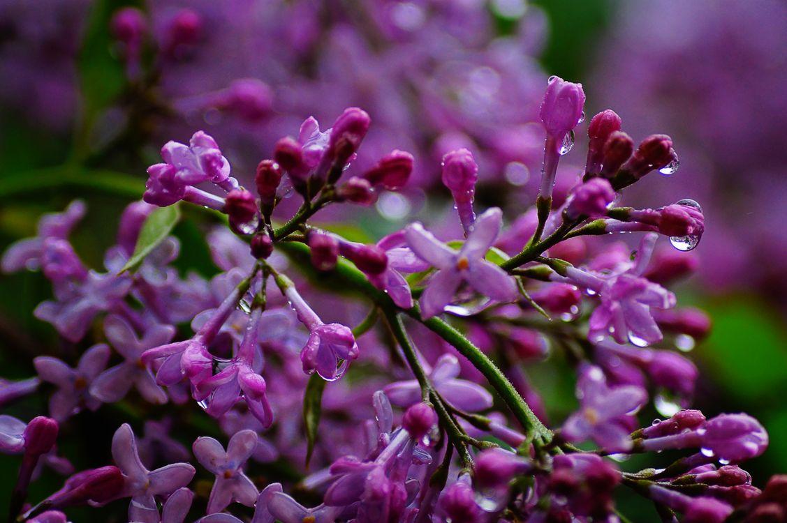 Фото бесплатно сирень, цветы, ветка, капли, макро, флора, цветы