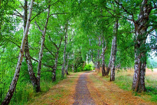 Заставки берёзовая аллея,деревья,тропинка,парк,берёзы,природа,пейзаж