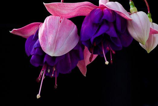 Photo free flora, Fuchsia gracilis, Gracilis