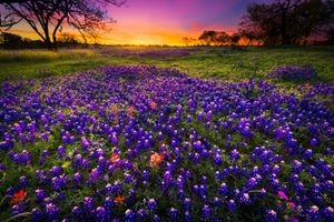 Photo free lupine, sunset, flower field