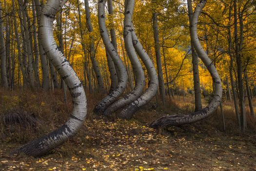 Curved trees Aspen Park · free photo