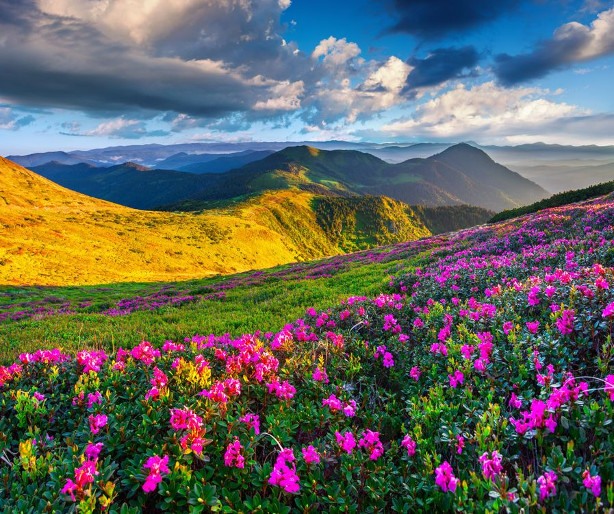 Розовые рододендроны в горах · бесплатное фото